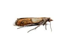 Macro del lepidottero del panno immagine stock
