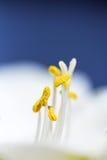Macro del lirio blanco Fotos de archivo libres de regalías