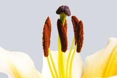 Macro del lirio de la trompeta amarilla Fotos de archivo libres de regalías