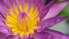 Macro del loto p?rpura del flor fotografía de archivo libre de regalías