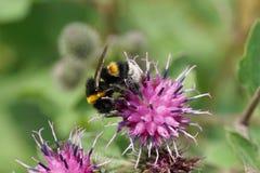 Macro del lucorum amarillo-negro caucásico del Bombus del abejorro encendido Fotografía de archivo libre de regalías