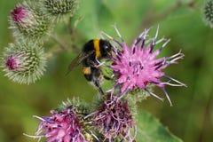 Macro del lucorum caucásico del abejorro que corre encima del bl púrpura Fotografía de archivo