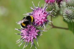 Macro del lucorum caucásico amarillo-negro del Bombus del abejorro Fotografía de archivo