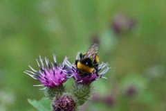 Macro del lucorum caucásico amarillo-negro del Bombus del abejorro en una Florida Foto de archivo