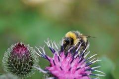 Macro del lucorum caucásico del Bombus del abejorro en el flor púrpura de Imagen de archivo libre de regalías