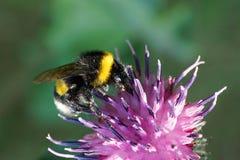Macro del lucorum mullido caucásico del Bombus del abejorro que se sienta en wh Fotos de archivo
