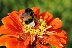 Macro del lucorum rayado mullido caucásico del Bombus del abejorro en wh Fotos de archivo libres de regalías