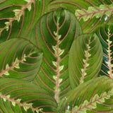 Macro del maranta de la flor de las hojas Fotos de archivo libres de regalías