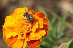 Macro del Megachile caucásico gris y rayado mullido de la abeja de la Rotonda Imagen de archivo