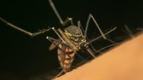 Macro del mosquito (aegypti del aedes) que chupa sangre Fotografía de archivo libre de regalías