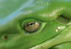 Macro del ojo de la rana de árbol (caerulea del litoria) imagen de archivo libre de regalías