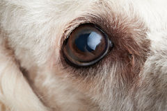 Macro del ojo del perro con la infección Foto de archivo