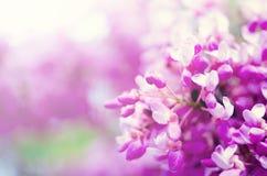 Macro del ` orientale s dell'albero del redbud Albero di Giuda di fioritura Siliquastrum del Cercis, canadensis Il rosa fiorisce  Immagini Stock