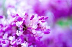 Macro del ` orientale s dell'albero del redbud Albero di Giuda di fioritura Siliquastrum del Cercis, canadensis Il rosa fiorisce  Fotografia Stock Libera da Diritti