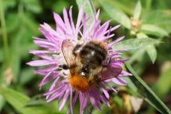 Macro del PA caucásico anaranjado mullido redondo del Bombus del abejorro del campo Fotografía de archivo libre de regalías