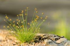 Macro del pequeño penacho de la hierba salvaje Imagenes de archivo
