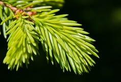 Macro del pino Imagen de archivo