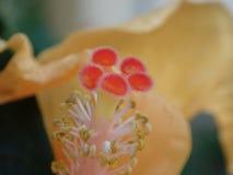 Macro del polen del hibisco imagenes de archivo