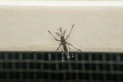 Macro del portador del mosquito (aegypti del aedes) del virus Fotos de archivo