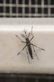 Macro del portador del mosquito (aegypti del aedes) del virus Foto de archivo libre de regalías