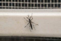Macro del portador del mosquito (aegypti del aedes) del virus Imagen de archivo