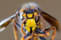 Macro del primer de la cara japonesa del avispón gigante Foto de archivo libre de regalías