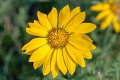 Macro del primer de la flor amarilla del balsamroot del arrowleaf Foto de archivo libre de regalías