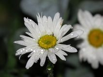 Macro del primer de la margarita de la flor con las gotitas de la gota de rocío del agua de lluvia fotos de archivo
