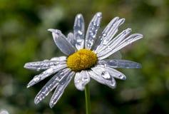 Macro del primer de la margarita de la flor con las gotitas de la gota de rocío del agua de lluvia en un fondo azul Plantilla flo fotografía de archivo libre de regalías