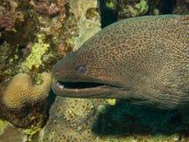 Macro del primer de Moray Eel Imagen de archivo