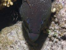 Macro del primer del frente de Moray Eel Foto de archivo