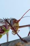 Macro del primer del insecto acorazado del grillo en Angola fotografía de archivo