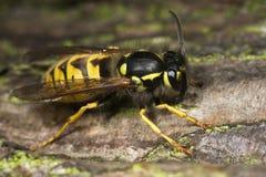 Macro del primer del insecto de la avispa Foto de archivo libre de regalías