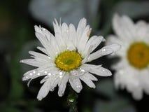 Macro del primo piano della margherita del fiore con le goccioline della goccia di rugiada dell'acqua piovana fotografie stock