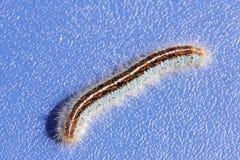 Macro del primo piano di Caterpillar immagine stock libera da diritti