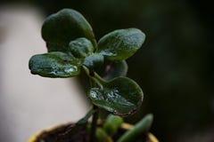 Macro del primo piano di una pianta verde scuro dopo che la pioggia ha infradiciato le sue foglie immagini stock libere da diritti