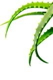 Macro del primo piano di verde della pianta dell'aloe isolata su un fondo bianco Immagini Stock Libere da Diritti