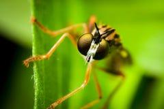Macro del professionista della mosca fotografie stock