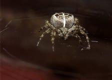 Macro del ragno fotografia stock libera da diritti