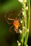 Macro del ragno del lince Immagini Stock Libere da Diritti
