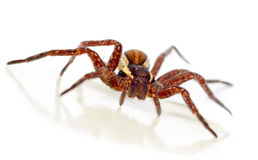 Macro del ragno di giardino su bianco Fotografia Stock