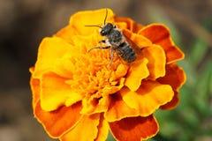 Macro del rotu caucásico rayado mullido del Megachile de los himenópteros de la abeja Imagen de archivo libre de regalías
