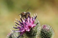 Macro del rotundat blanco-gris caucásico del Megachile de los himenópteros de la abeja Fotografía de archivo libre de regalías