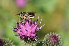 Macro del rotundata caucásico del Megachile de los himenópteros de la abeja con el ala Fotos de archivo libres de regalías