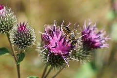 Macro del rotundata caucásico del Megachile de los himenópteros de la abeja en inflor Fotografía de archivo libre de regalías