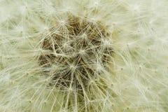 Macro del seme del dente di leone Immagini Stock Libere da Diritti