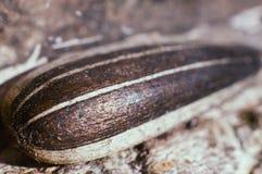 Macro del seme di girasole Fotografia Stock