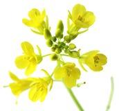Macro del seme di ravizzone Fotografia Stock