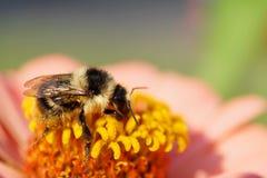 Macro del serr rayado blanco y negro caucásico del Bombus del abejorro Fotografía de archivo libre de regalías