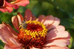 Macro del vuelo gris rayado caucásico del albigena de Amegilla de la abeja encendido Imágenes de archivo libres de regalías